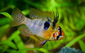 Апистограмма Рамирези (Апистограмма-Бабочка) – аквариумная рыбка сказочного окраса