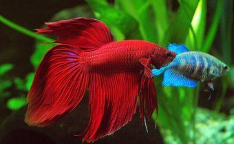 Можно ли держать петушка в круглом аквариуме?