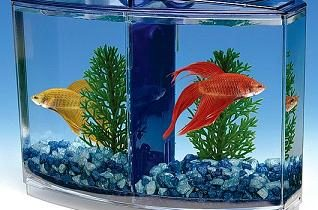 Сколько петушков можно держать в одном аквариуме