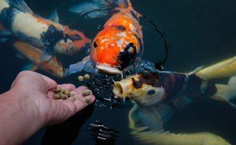 Переедание у рыбок: кормить или не кормить, вот в чем вопрос