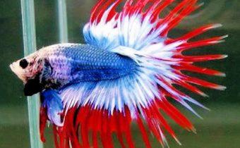 Рыбки петушки (лат. Betta splendens)