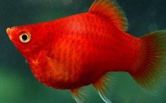 Особенности содержания рыбок пецилий