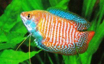 Рыбки лялиусы – описание, уход, совместимость с другими видами