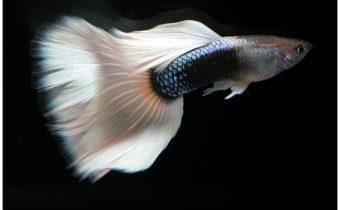 Особенности рыбок Гуппи (лат. Poecilia reticulata)
