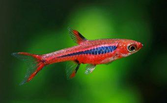 Расбора — красивый и дружелюбный житель аквариума