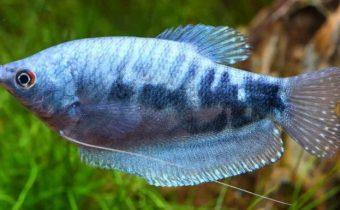 Аквариумная рыбка гурами (Trichogaster)