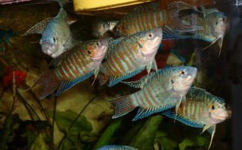 Рыбки макроподы – описание, уход, совместимость с другими видами