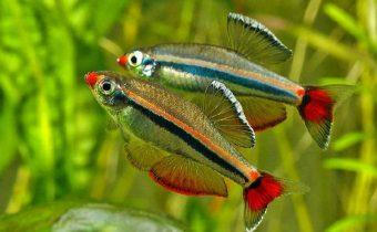 Аквариумная рыбка кардинал (Tanichthys albonubes)