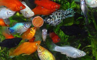 Сколько времени можно не кормить рыбок?