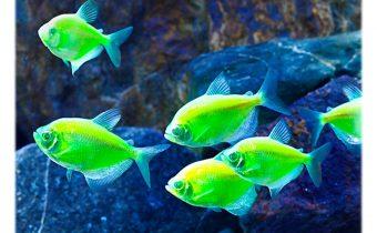 Цветные тернеции — рыбки карамельки в аквариуме