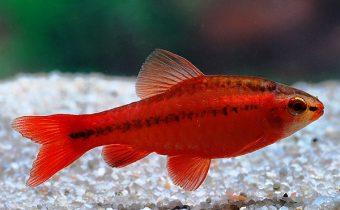 Вишневый барбус — описание рыбки