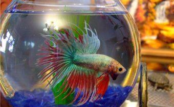 Рыбка петушок лежит на дне: причины, лечение